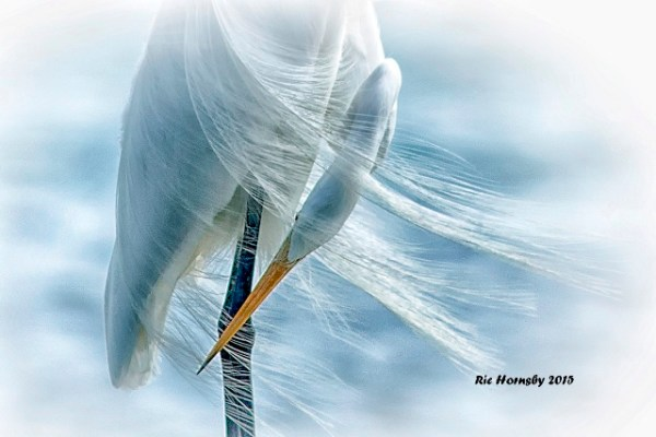 Great Egret by Ric Hornsby