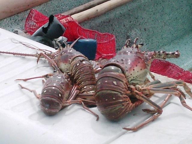 Lobster in Belize