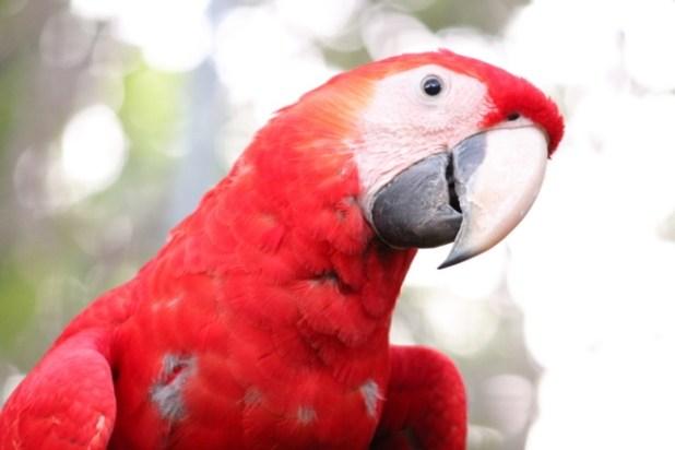 Scarlet Macaw Belize