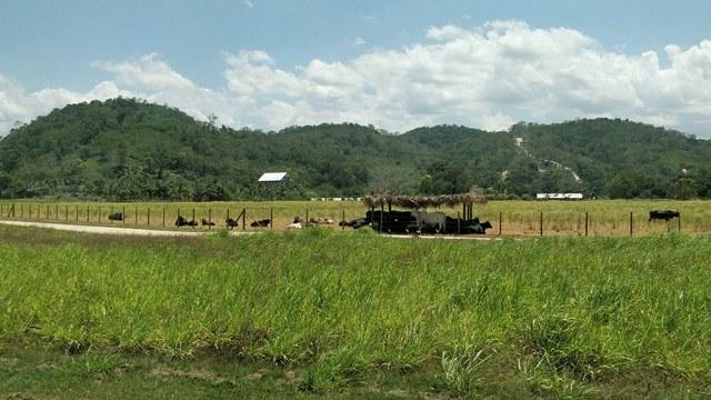 Cattle Farming in Belize