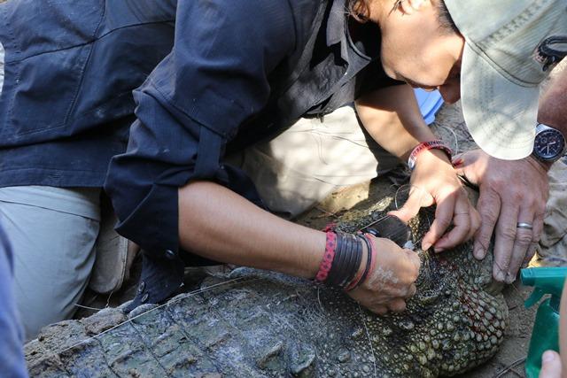 Crocodile Conservationists Placencia Belize