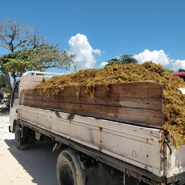 Sargasso in Belize