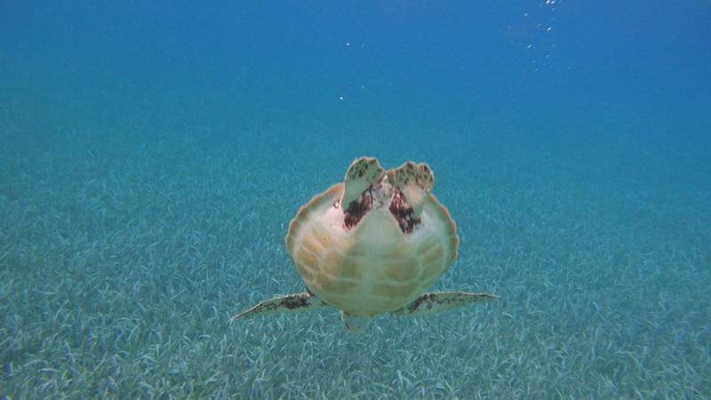 sea-turtle-hol-chan-belize