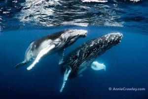 Annie Crawley Humpback whales