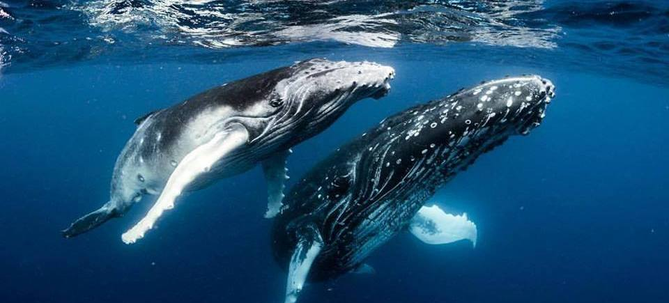 Annie Crawley artists Humpback whales