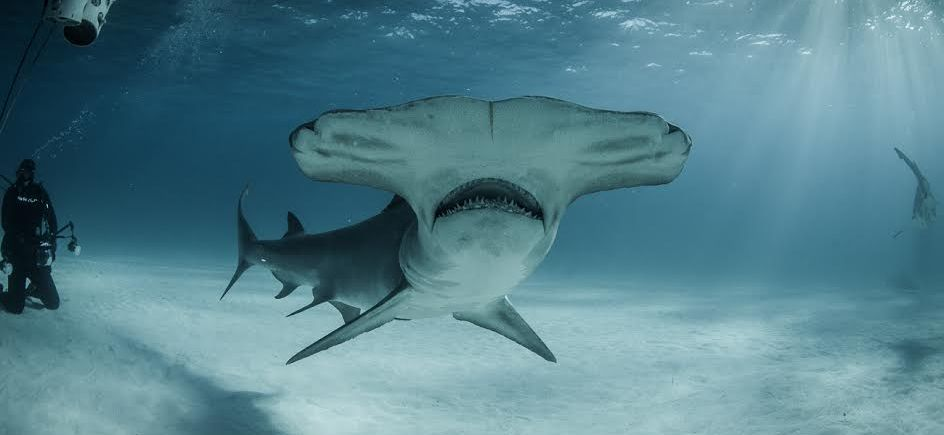 Mike Coots photo of hammerhead shark