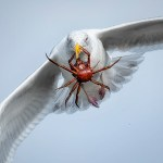 Crab on the Wing