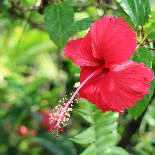 Gumamela flower
