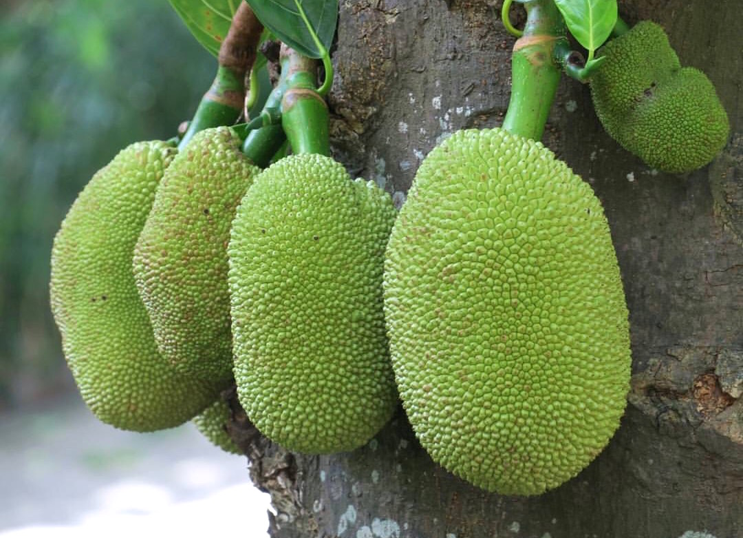Big Jackfruits on Tree