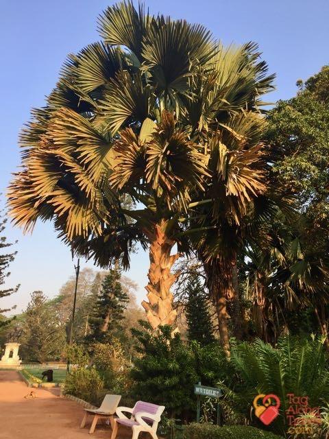 Bangalore Running & Walking Tours-Talipot Palm
