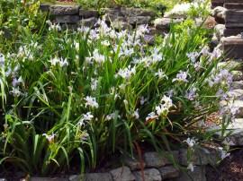 Iris douglasiana-Douglas Iris