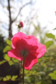 201511-roses