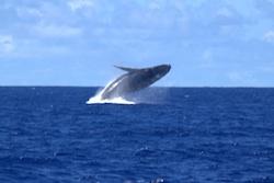 Whale breeching in Tonga