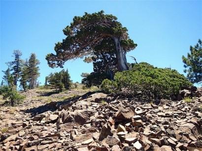 Wind Sculptured Tree
