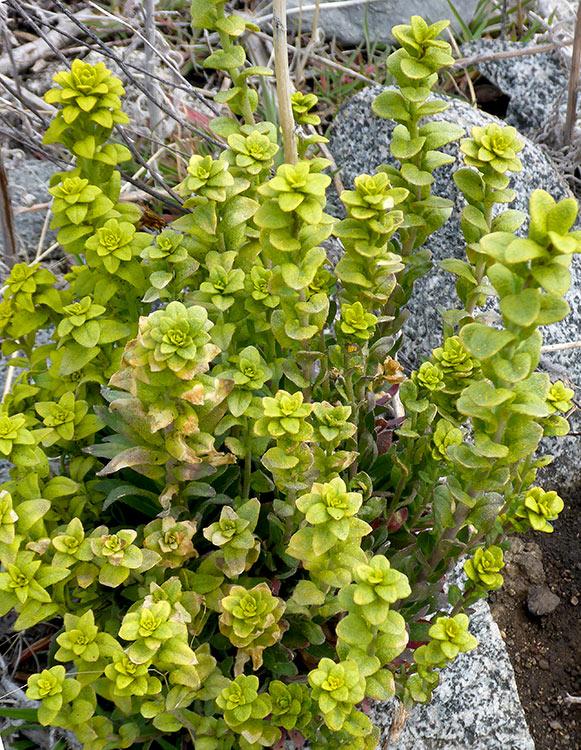 Puccinia Monoica (parasitic rust fungus)