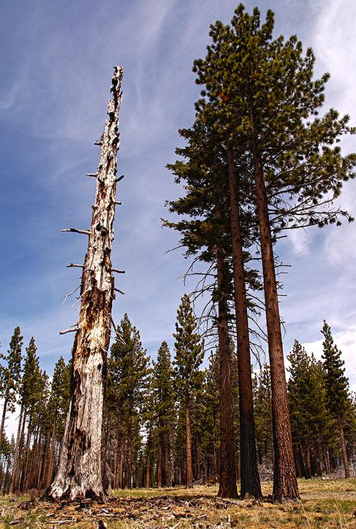 Burnt Jeffrey Pine tree in the Angora Burn area on May 17, 2014. © Jared Manninen