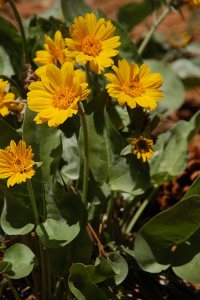 "19 - Mule's Ear, AKA ""Mountain Money"""