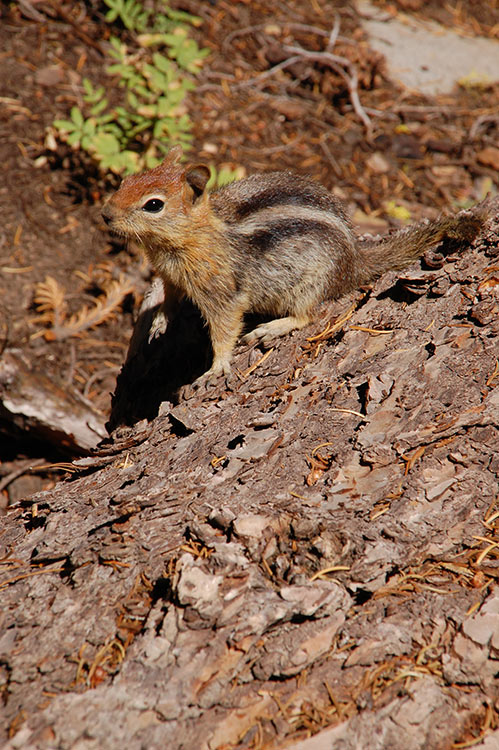40 - Golden-Mantled Ground Squirrel Playing Statue Master on a Fallen Tree