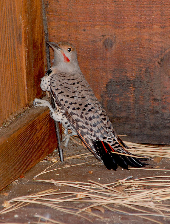 46 - Northern Flicker Searching for Bugs to Eat
