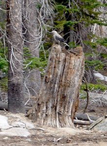 59 - Clark's Nutcracker Perched Atop a Stump