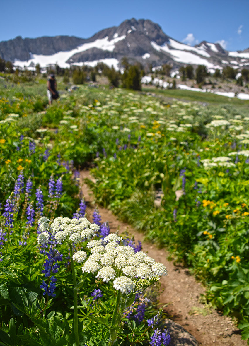 Sierra Nevada wildflowers on the hiking trail to Winnemucca Lake.