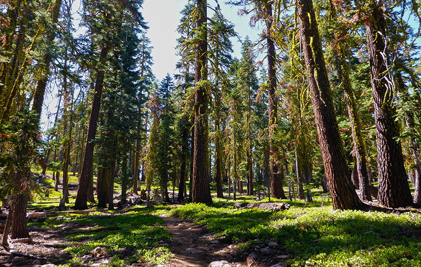 Hiking trail through a forest of Jeffrey Pine trees