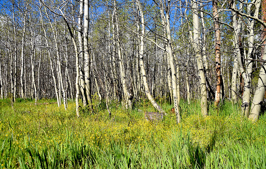 Cathedral Meadow and Aspen trees