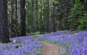 Lupine lines the hiking trail through Washoe Meadows State Park