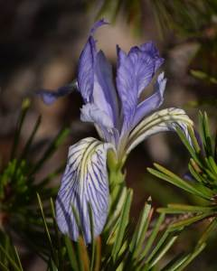 Western Blue Flag: Iris missouriensis (7/26/19) © Jared Manninen