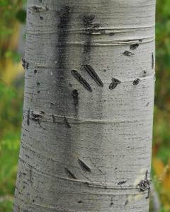 Bear claw scratch marks on an Aspen tree at Cathedral Meadow. © Jared Manninen