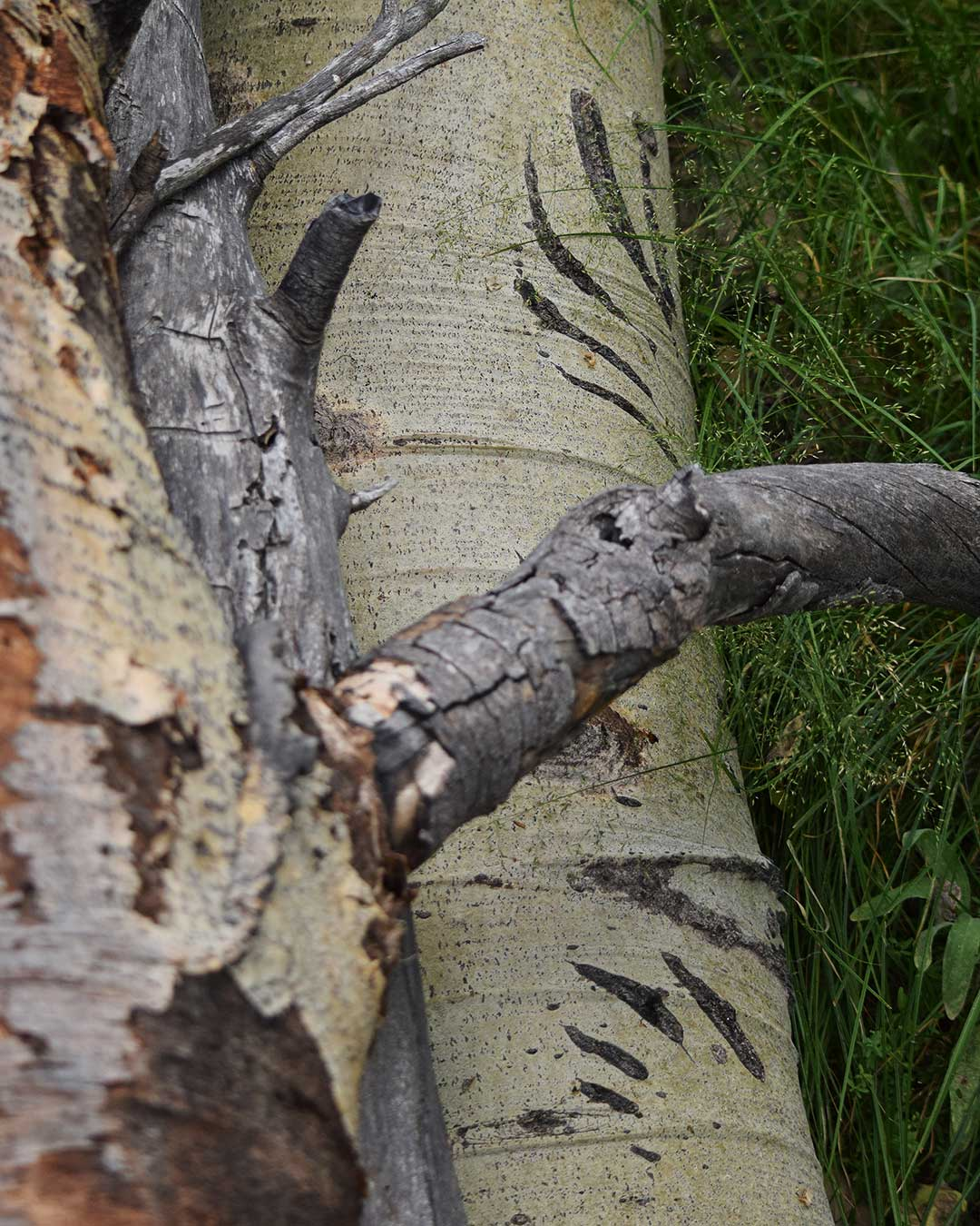 Dramatic bear claw scratch marks on fallen Aspen tree at Cathedral Meadow. © Jared Manninen