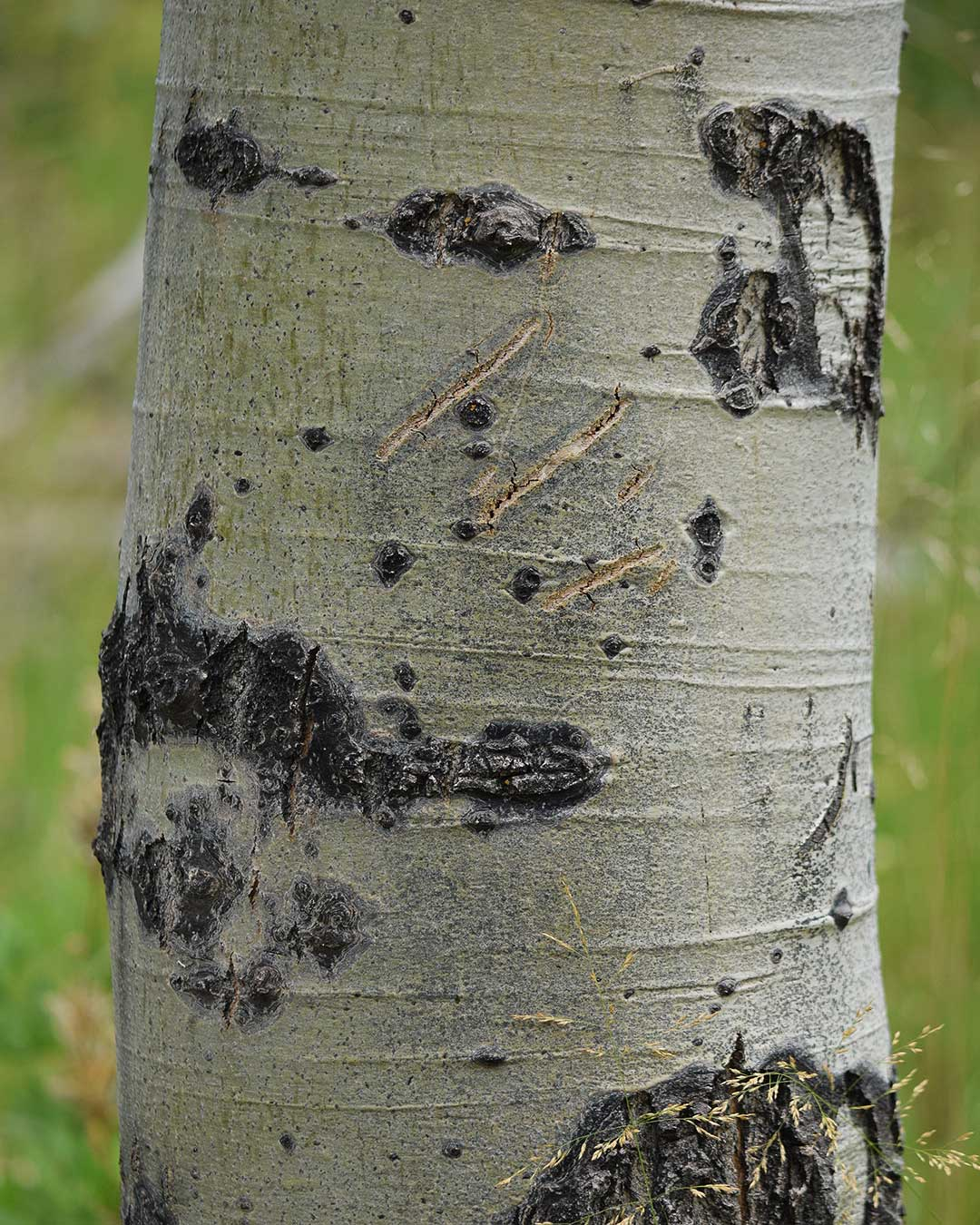 Fresh bear claw scratch marks on an Aspen tree at Cathedral Meadow. © Jared Manninen