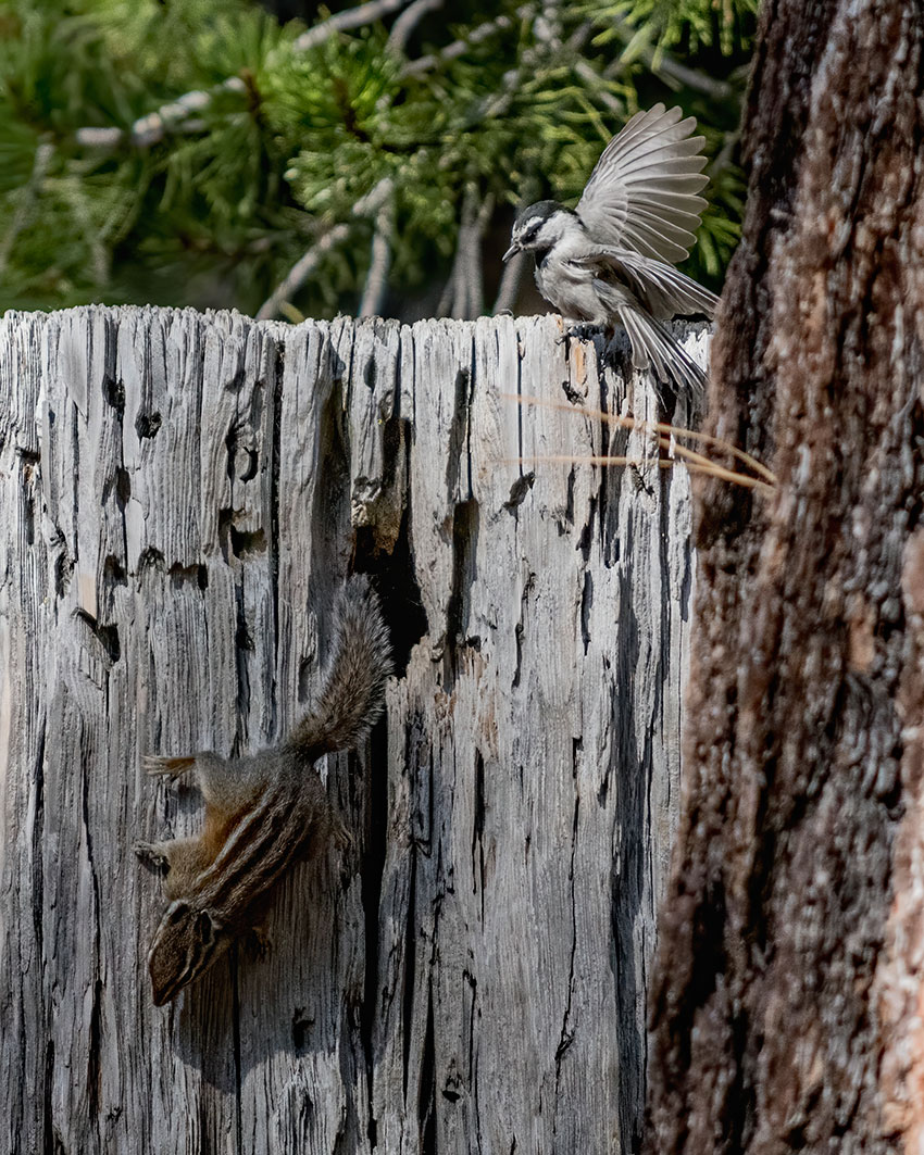Mountain Chickadee vainly attempting to guard its nest from a Lodgepole Chipmunk