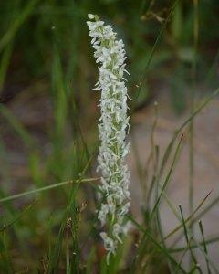 Sierra Bog Orchid (Platanthera dilatata var. leucostachys). July 23, 2019.© Jared Manninen