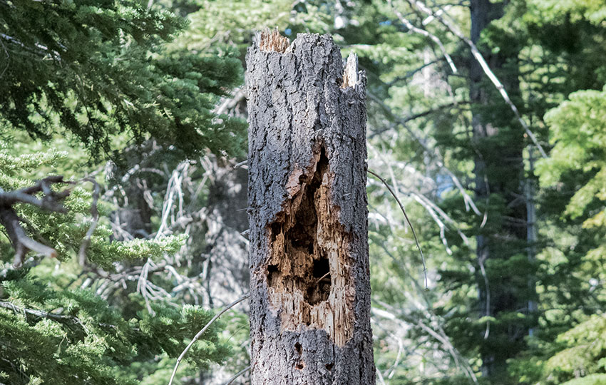 Large tree cavity left behind by a Pileated Woodpecker (Dryocopus pileatus)