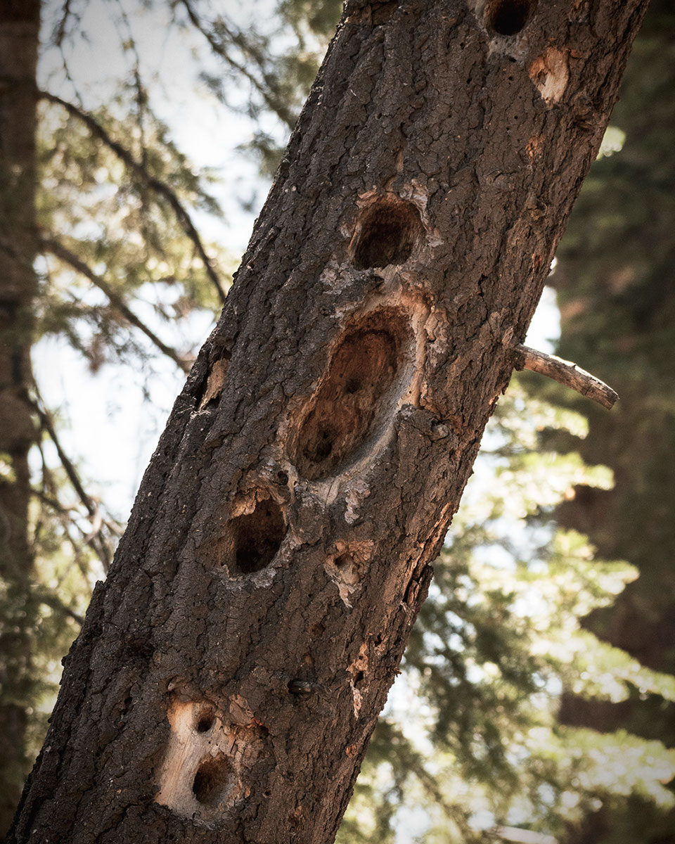 A more traditional looking oblong excavation hole from a Pileated Woodpecker. To see more examples of Pileated Woodpecker excavation cavities, watch the video above. © Jared Manninen