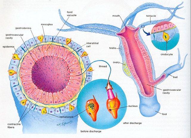 earthworm digestive system diagram clarion marine radio wiring fsc of planaria+hydra+earthworm (animation) – muhammad tahsin