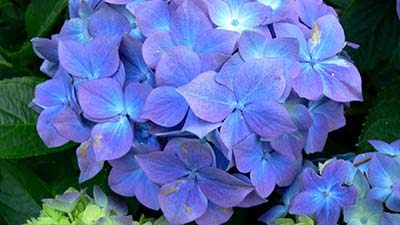 The Flower of Hydrangea