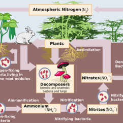 Taiga Food Web Diagram Application Structure Nutrient Cycles - (coniferous Forest)