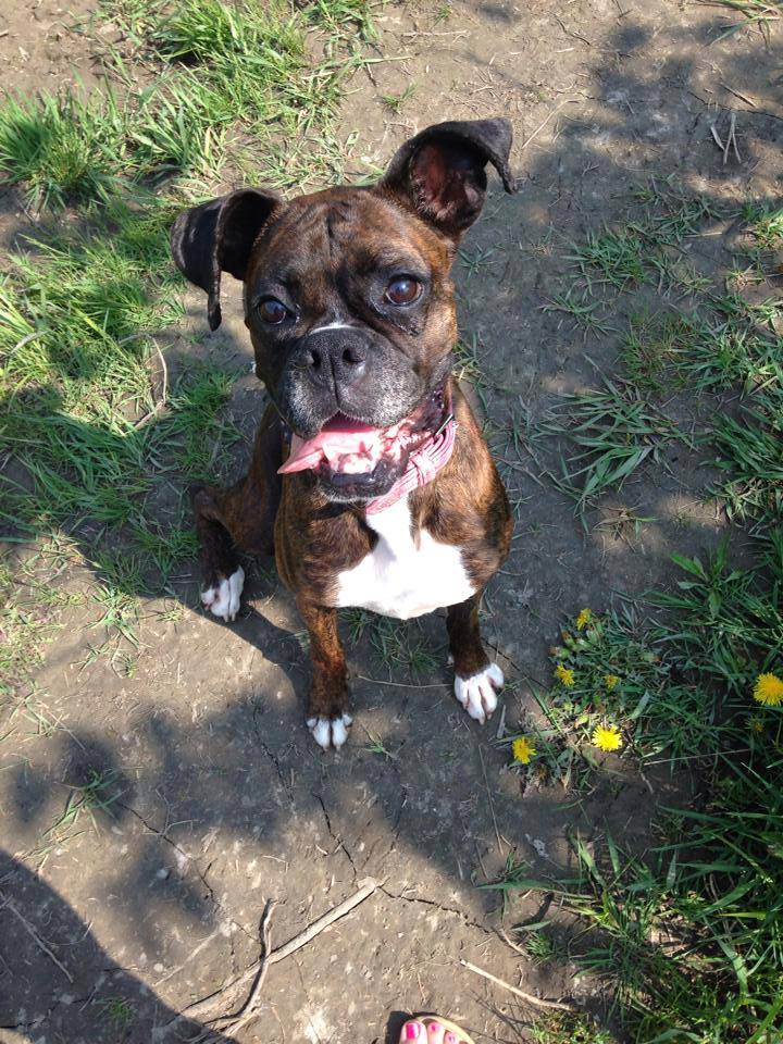 The 7 in Need -Boxer Rescue Ontario