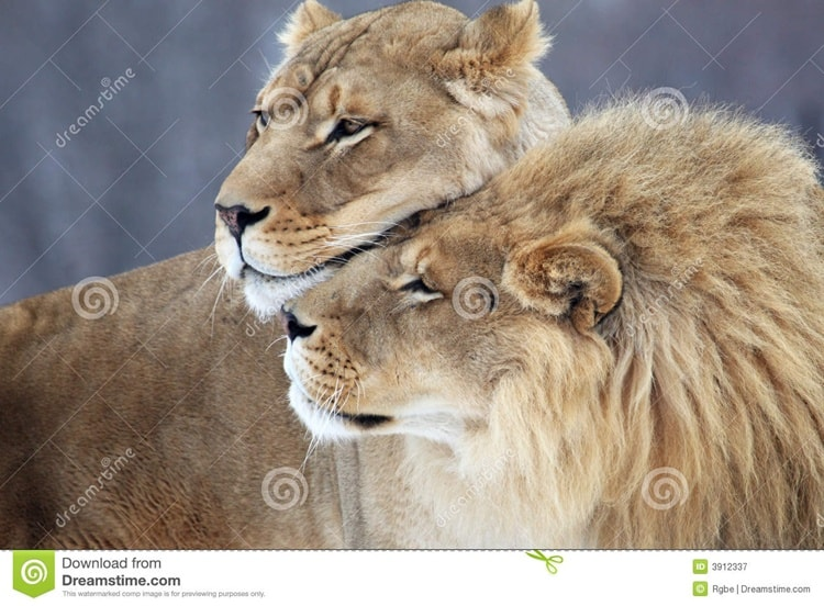 Cute Couple Together Wallpaper Lion And Lioness The Royal Couple At Their Best Tail