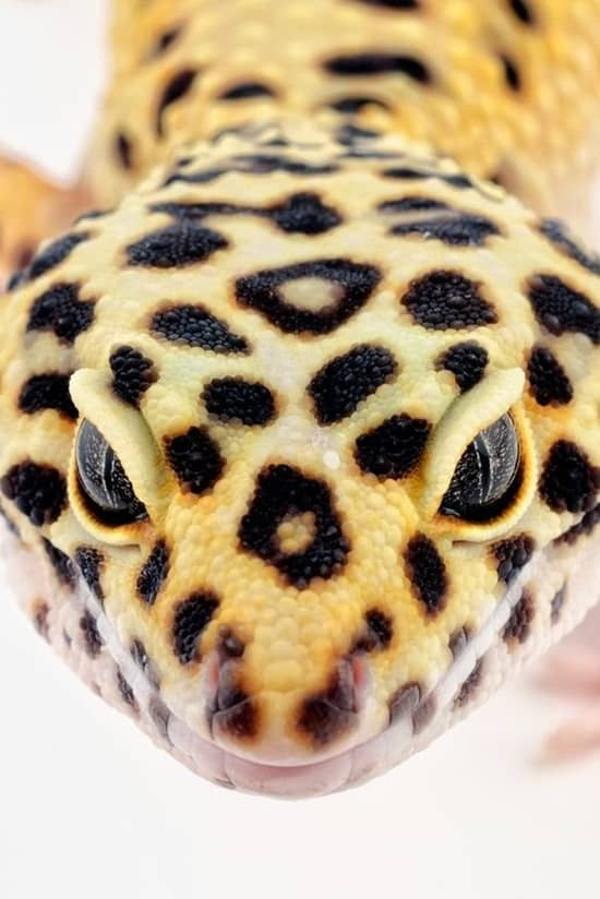 Cute Leopard Wallpaper The Many Types Of Geckos Tail And Fur