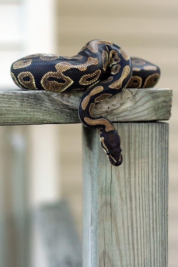 7 Best Pet Snake for Beginners