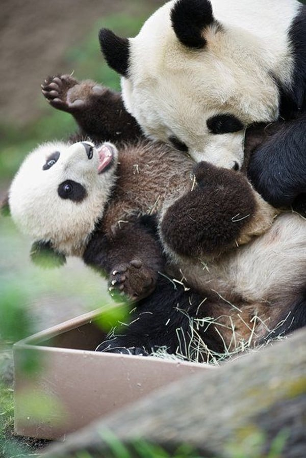 Cute Pandas Wallpapers 35 Cute Tickling Animals Pictures