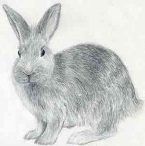 rabbit draw drawing realistic animal sketches drawings bunny pencil easy rabbits inspiration animals fur step tailandfur monkey sketch parts fox