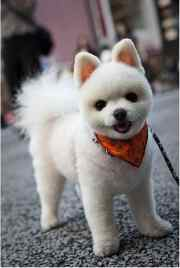 dog grooming styles