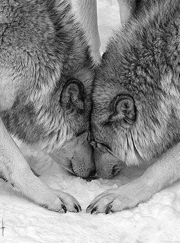 40 Majestic Gray Wolf Pictures  Tail and Fur