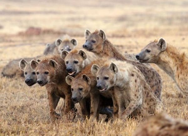 35 Amazing Live Action Pictures Of Hyenas Tail And Fur