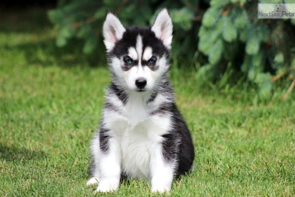 Cute Husky Puppies With Blue Eyes Wallpaper 40 Siberian Husky Puppies Pictures To Give You Watery Eyes