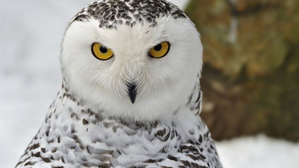 Fall Owl Wallpaper 40 White Snowy Owl Pictures From The House Of Gandalf